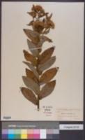 Image of Pluchea longifolia