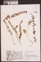Vaccinium crassifolium image