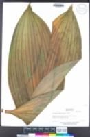 Veratrum fimbriatum image