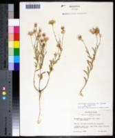 Aphanostephus skirrhobasis var. skirrhobasis image