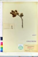 Image of Prunus lyonii