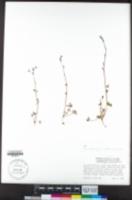 Lithophragma glabrum image