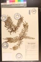 Image of Gleichenia polypodioides
