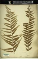 Asplenium contiguum image