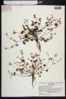 Image of Ranunculus platensis