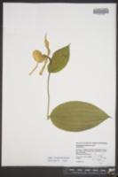 Cypripedium parviflorum var. pubescens image