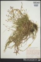 Carex chapmanii image