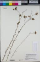 Lessingia filaginifolia image