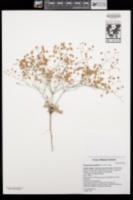 Eriogonum pusillum image