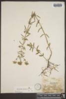 Pycnanthemum flexuosum image