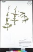 Ceanothus cuneatus image