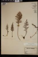 Amphoradenium tamariscinum image