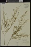 Stylisma pickeringii image