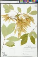 Fraxinus caroliniana var. cubensis image