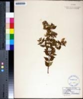 Abelia grandifolia image