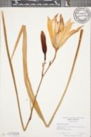 Image of Hemerocallis minor
