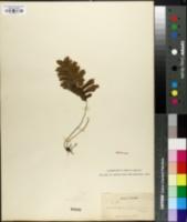 Image of Trichomanes pinnatum