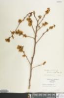 Image of Vaccinium x marianum