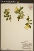 Gentiana villosa image