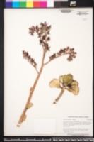 Image of Echeveria pallida