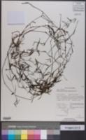 Image of Oldenlandia lancifolia