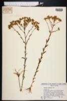 Image of Polygala balduinii