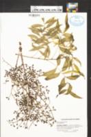 Pistacia chinensis image