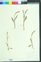 Image of Polygonum viviparum