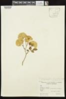 Rosa chinensis image