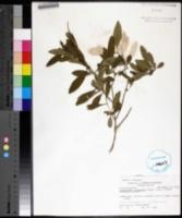 Image of Forestiera segregata