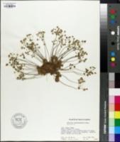 Image of Androsace saxifragaefolia