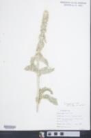 Stachys byzantina image