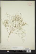 Gypsophila muralis image