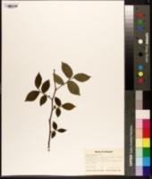 Image of Ulmus densa