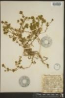 Image of Hemizonia corymbosa