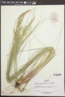 Achnatherum brachychaetum image