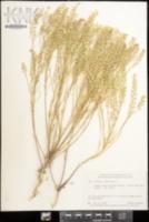 Lepidium virginicum image