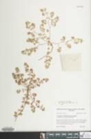 Image of Euphorbia bombensis