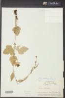 Geum virginianum image