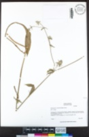 Eryngium articulatum image