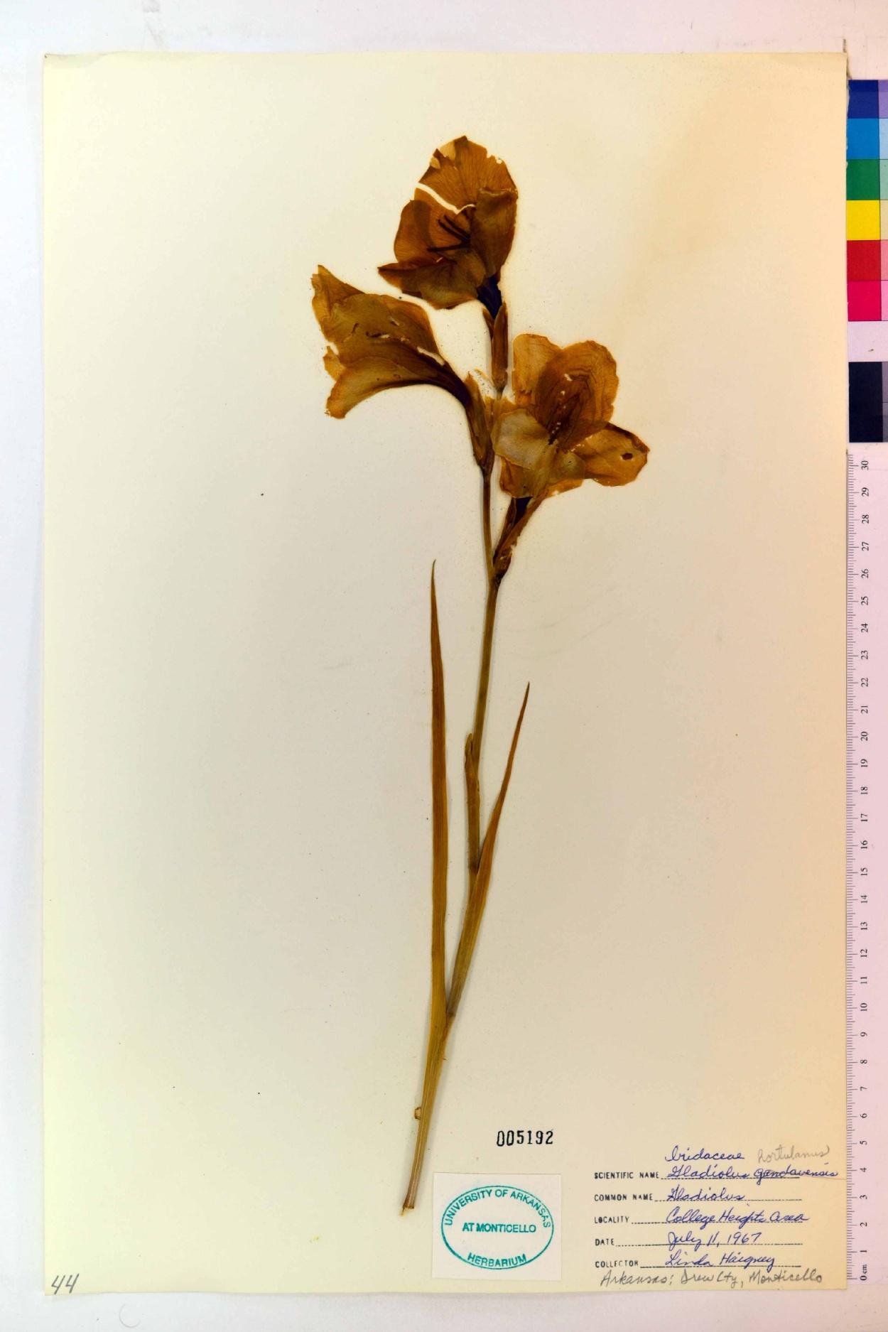 Gladiolus hortulanus image