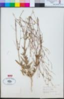 Boerhavia xanti image