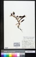 Image of Pyrrosia eleagnifolia