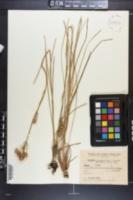 Image of Eryngium eriophorum