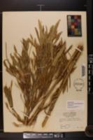 Arundinaria gigantea image