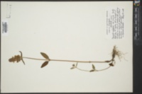 Prunella vulgaris var. hispida image