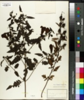 Image of Gerardia grandiflora