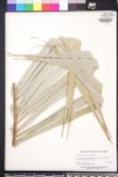 Allagoptera arenaria image