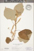 Tilia heterophylla image
