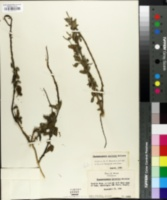 Image of Stachytarpheta australis